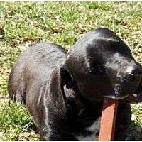 Adopt A Pet :: Sissy - Spartanburg, SC