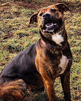 American Pit Bull Terrier/Boxer Mix Dog for adoption in Orwell, Ohio - Kimmy