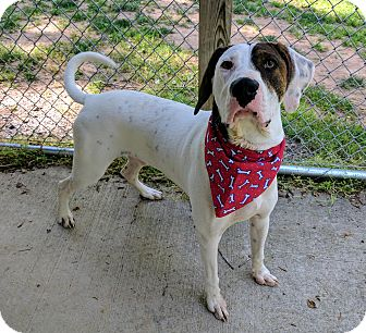 Hound (Unknown Type) Mix Dog for adoption in Sylva, North Carolina - Jax