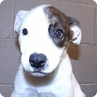 Adopt A Pet :: Ginger - Oxford, MS