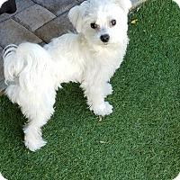 Adopt A Pet :: Baylow - San Diego, CA