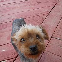 Adopt A Pet :: Susie Q - dewey, AZ