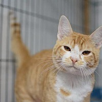 Adopt A Pet :: Cheddar - Newaygo, MI