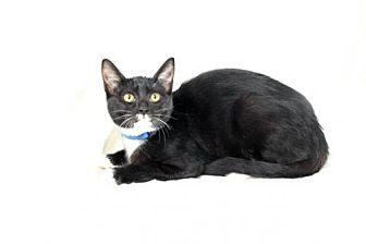 Domestic Mediumhair Kitten for adoption in Salinas, California - THUNDER