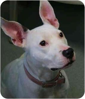 American Pit Bull Terrier/American Staffordshire Terrier Mix Dog for adoption in Staunton, Virginia - Coastal