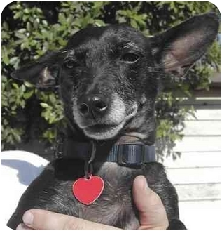 Chihuahua/Jack Russell Terrier Mix Dog for adoption in El Segundo, California - Blackie