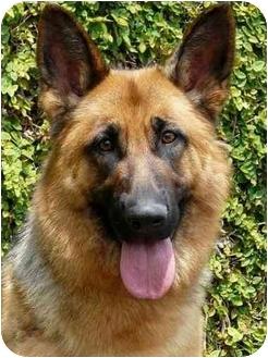 German Shepherd Dog Mix Dog for adoption in Los Angeles, California - Tiffany von Tauben