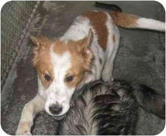 Collie/Spaniel (Unknown Type) Mix Dog for adoption in Lincolnton, North Carolina - Katie