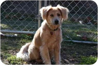 Golden Retriever Mix Dog for adoption in Prince William County, Virginia - maggie