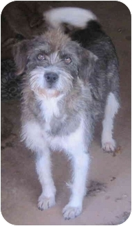 Terrier (Unknown Type, Medium)/Glen of Imaal Terrier Mix Dog for adoption in Buford, Georgia - Princess