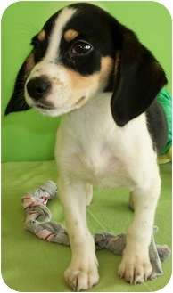Beagle/Dachshund Mix Puppy for adoption in Struthers, Ohio - Barbossa