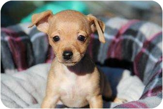 Chihuahua/Dachshund Mix Puppy for adoption in Yuba City, California - Tinsel