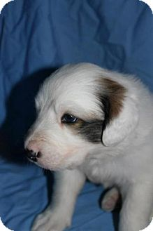 Great Pyrenees Mix Puppy for adoption in Stilwell, Oklahoma - Oliver