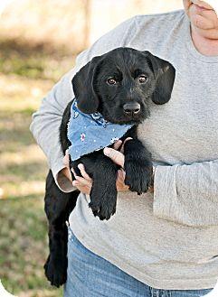 Labrador Retriever Mix Puppy for adoption in Portsmouth, Rhode Island - Mickey-local!