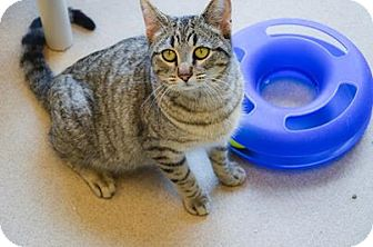 Domestic Shorthair Cat for adoption in Hickory Creek, Texas - Missy
