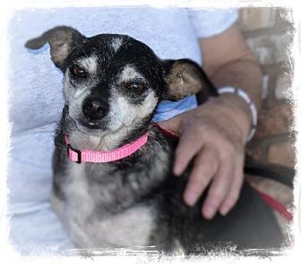 Manchester Terrier Mix Dog for adoption in San Marcos, California - Miss Jenny
