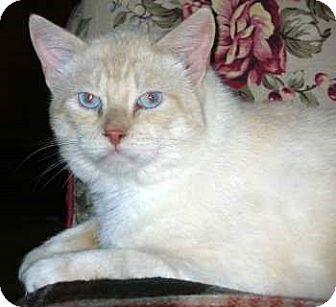 Domestic Shorthair Cat for adoption in Davis, California - Frostie