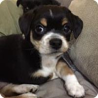 Adopt A Pet :: Haileys Jupiter - Las Vegas, NV