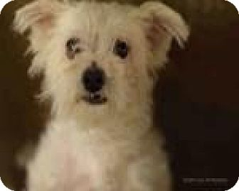 Terrier (Unknown Type, Small)/Maltese Mix Dog for adoption in Tucson, Arizona - Jacey