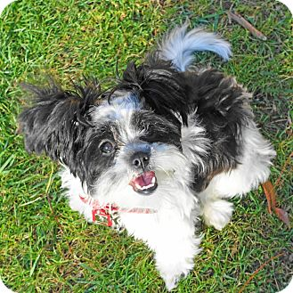 Shih Tzu Mix Puppy for adoption in Los Angeles, California - VIOLET
