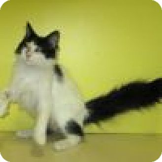 Domestic Mediumhair Cat for adoption in Powell, Ohio - Pandy