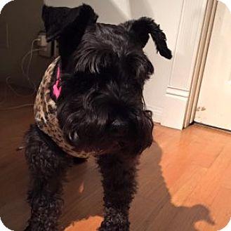 Schnauzer (Miniature) Dog for adoption in Redondo Beach, California - Halo