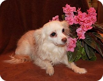 Chihuahua Mix Dog for adoption in Newark, New Jersey - Shirley