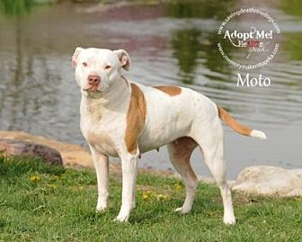 Pit Bull Terrier Mix Dog for adoption in Topeka, Kansas - Moto
