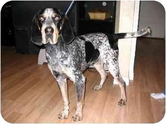 Bluetick Coonhound Dog for adoption in Provo, Utah - Elvis