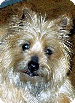 Cairn Terrier Dog for adoption in Medina, Ohio - Siegfried in OH