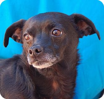 Chihuahua Mix Dog for adoption in Las Vegas, Nevada - Mary