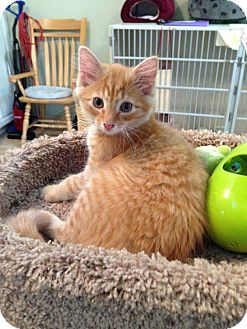 Domestic Longhair Kitten for adoption in Hamilton, New Jersey - GABE