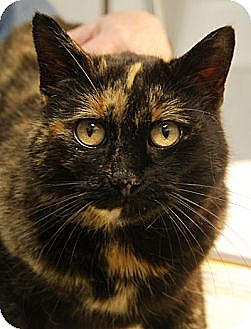 Domestic Shorthair Cat for adoption in Huntley, Illinois - Amber