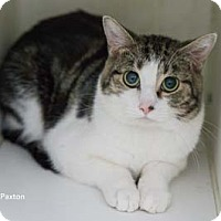 Adopt A Pet :: Paxton - Merrifield, VA