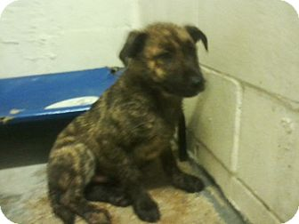 Mountain Cur Mix Puppy for adoption in Providence, Rhode Island - Norman