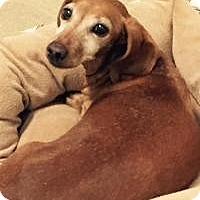 Adopt A Pet :: Dotsi - Shawnee Mission, KS