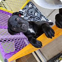 Adopt A Pet :: Angus - Flower Mound, TX