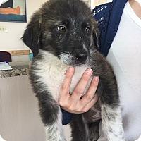 Adopt A Pet :: Sasha - Kyle, TX