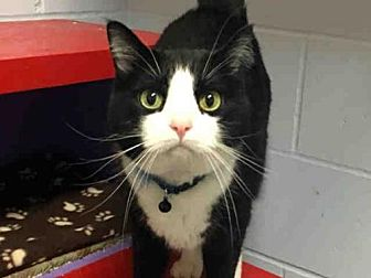 Domestic Shorthair Cat for adoption in Ames, Iowa - MICKEY