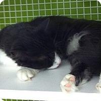 Adopt A Pet :: Gray Tux - Seminole, FL