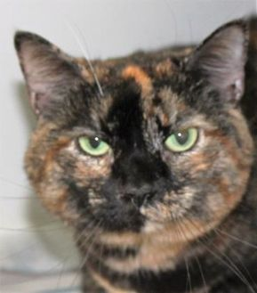 Domestic Shorthair/Domestic Shorthair Mix Cat for adoption in Robinson, Illinois - Scotchi