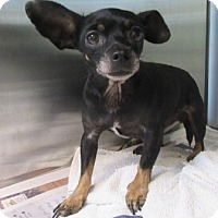 Adopt A Pet :: Amy - North Richland Hills, TX