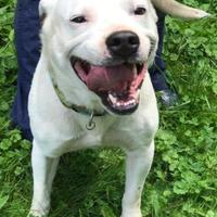 Mixed Breed (Large) Mix Dog for adoption in Charleston, West Virginia - Daniel