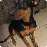 Doberman Pinscher/Rottweiler Mix Dog for adoption in Pompano beach, Florida - Storm