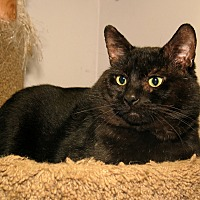 Adopt A Pet :: Midnight - Milford, MA