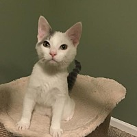 Adopt A Pet :: Ax Litter - Ardbeg ('Ardie') - Williamston, MI