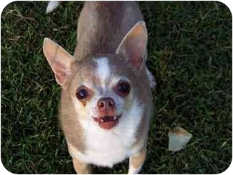 Chihuahua Dog for adoption in Smithfield, Virginia - Baby
