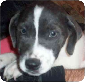 English Pointer Mix Puppy for adoption in Chapel Hill, North Carolina - Trevor