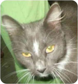 Domestic Mediumhair Cat for adoption in Spruce Pine, North Carolina - Wally