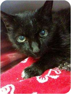 Domestic Shorthair Cat for adoption in Plymouth, Massachusetts - Polly